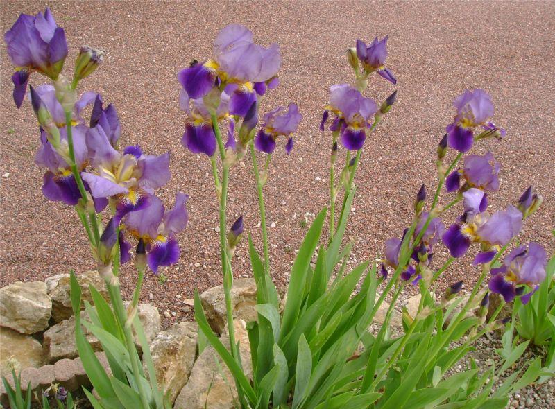 boutique baby donne rhizomes d iris violets. Black Bedroom Furniture Sets. Home Design Ideas
